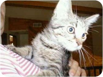 Domestic Shorthair Kitten for adoption in Proctor, Minnesota - Pluto