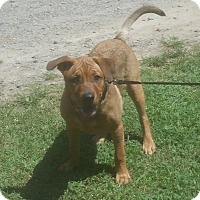 Adopt A Pet :: GINGER ROSE - Paron, AR
