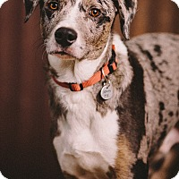 Catahoula Leopard Dog/Australian Shepherd Mix Dog for adoption in Portland, Oregon - Austyn