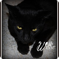 Domestic Mediumhair Cat for adoption in Salem, Ohio - Willie