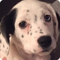 Adopt A Pet :: GINGER - Pine Grove, PA