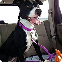 Adopt A Pet :: Layna - Lake City, MI