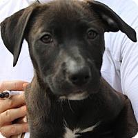 Adopt A Pet :: Athena - Studio City, CA