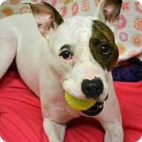 Adopt A Pet :: Shondra Shortcakes - Troy, MI