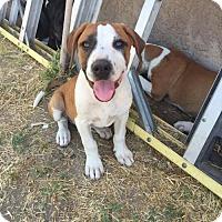 Adopt A Pet :: Nova - Fresno, CA