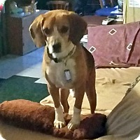 Beagle Mix Dog for adoption in South Bend, Indiana - Butch