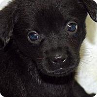 Adopt A Pet :: Venus - Arlington, VA