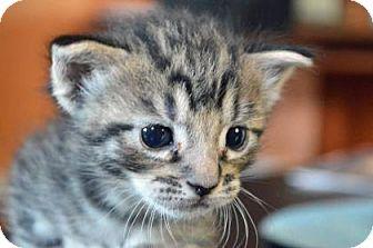 Domestic Shorthair Kitten for adoption in New Orleans, Louisiana - Pikachu