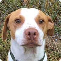 Adopt A Pet :: Scout - Harrisonburg, VA