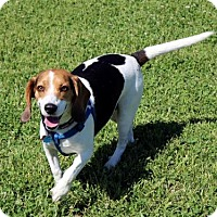 Beagle Dog for adoption in Mansfield, Texas - Cooper