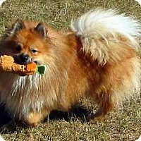 Pomeranian Mix Dog for adoption in Centerville, Georgia - Vinnie