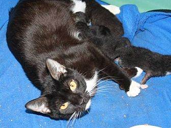 Domestic Shorthair Cat for adoption in Stevensville, Maryland - Kit