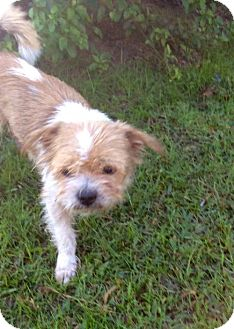 Shih Tzu/Terrier (Unknown Type, Medium) Mix Dog for adoption in New Smyrna beach, Florida - Terry