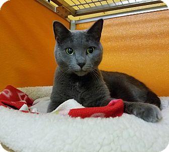 Russian Blue Cat for adoption in Elyria, Ohio - Lulu