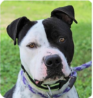 Pit Bull Terrier Mix Dog for adoption in Red Bluff, California - BOSCO/Neutered/Chipped