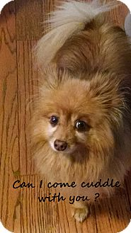 Pomeranian Dog for adoption in Franklinton, North Carolina - Bart