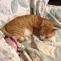 Domestic Shorthair Kitten for adoption in Oklahoma City, Oklahoma - Argus