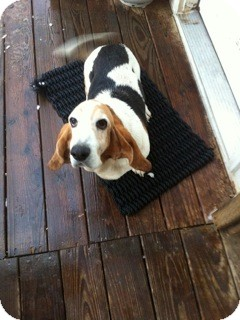 Basset Hound Dog for adoption in Northport, Alabama - Lacey