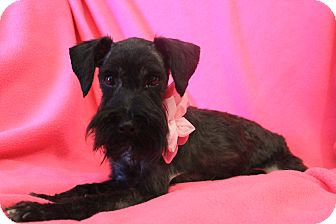 Schnauzer (Miniature) Dog for adoption in Hagerstown, Maryland - Layla