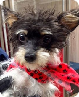 Yorkie, Yorkshire Terrier Mix Dog for adoption in Green Bay, Wisconsin - Ralphie
