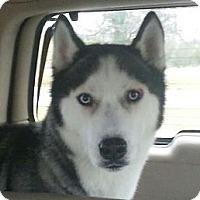 Adopt A Pet :: Nico - Elkhart, IN