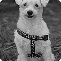 Adopt A Pet :: Spot - Albany, NY