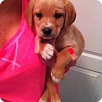 Adopt A Pet :: *Sawyer - Westport, CT