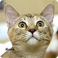 Adopt A Pet :: Moxie - Sacramento, CA