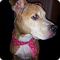 American Pit Bull Terrier Mix Dog for adoption in Calumet City, Illinois - MISSING/REWARD Lily