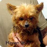 Adopt A Pet :: Haven - baltimore, MD