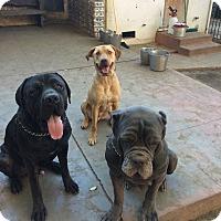 Adopt A Pet :: Beaux - Van Nuys, CA