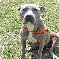 American Staffordshire Terrier Mix Dog for adoption in Summerville, South Carolina - Brock