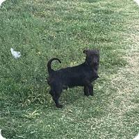 Adopt A Pet :: Sampson - Lubbock, TX