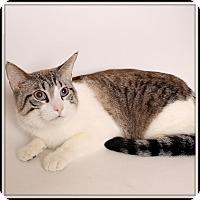 Exotic Cat for adoption in Glendale, Arizona - Snowball