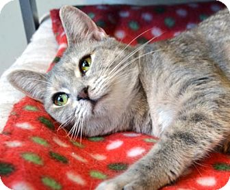 Domestic Shorthair Cat for adoption in Johnson City, Tennessee - Sally