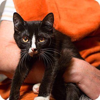 American Shorthair Kitten for adoption in Brooklyn, New York - Evie
