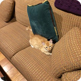 Domestic Longhair Kitten for adoption in Cardwell, Montana - Dietrich