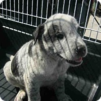 Adopt A Pet :: A401564 - San Antonio, TX