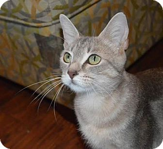 Domestic Shorthair Cat for adoption in Flower Mound, Texas - Jasmine
