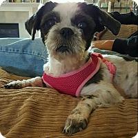 Adopt A Pet :: Latte - Avon, OH