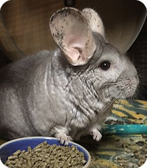 Chinchilla for adoption in Hammond, Indiana - Missy