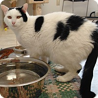 Domestic Shorthair Cat for adoption in Cloquet, Minnesota - Weston