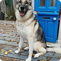 Husky/German Shepherd Dog Mix Dog for adoption in Toronto, Ontario - TINKER