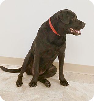 Labrador Retriever/Coonhound Mix Dog for adoption in Urbana, Ohio - Sadie