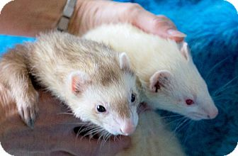 Ferret for adoption in Brandy Station, Virginia - LARAMIE & CHEYANNE