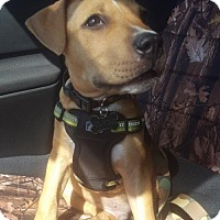 Pit Bull Terrier/American Bulldog Mix Puppy for adoption in Key Largo, Florida - Clyde