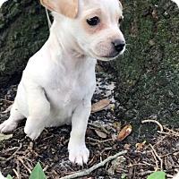 Adopt A Pet :: Olea - Weston, FL
