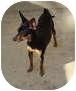 Miniature Pinscher Mix Dog for adoption in Leesport, Pennsylvania - Tinkerbell is darling!