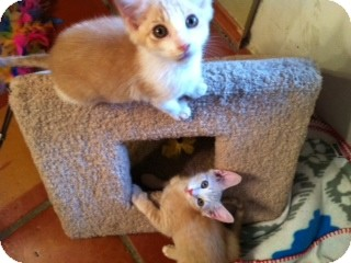 Domestic Mediumhair Kitten for adoption in Weatherford, Texas - Buffy & Jody
