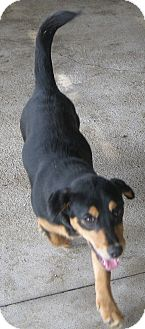 Dachshund Mix Puppy for adoption in Prole, Iowa - Candy